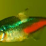 Cá Neon bị bệnh, bị nấm làm chết hàng loạt và cách xử lý