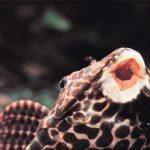 Cá Lau Kính, cá Tỳ Bà, cá dọn bể và cách nuôi