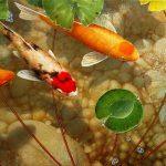 Những loài cá cảnh nuôi theo phong thủy