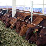 Kỹ thuật nuôi bò thịt, bò vỗ béo tốt nhất