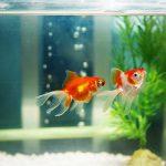 Làm sao nuôi cá cảnh không bị chết?