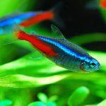 Cách nuôi cá Neon