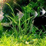 Trồng cây thủy sinh trong bể cá cảnh