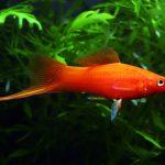 Cách nuôi cá kiếm sinh sản nhanh