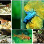 5 loại cá có thể nuôi chung với cá Betta