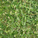 Tác dụng chữa bệnh của cây nở ngày đất