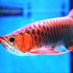Cách nuôi cá Rồng Huyết Long nhanh lớn và lên màu đẹp