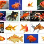 Danh sách các loại cá Vàng
