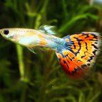 Cá Bảy Màu: đặc điểm và chủng loại