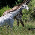 Hươu cao cổ màu trắng quý hiếm trong tự nhiên