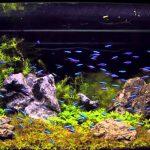 5 loài cá cảnh nhỏ họ Tetra phổ biến nhất