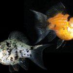 Cách nuôi cá Bình Tích nhanh đẻ