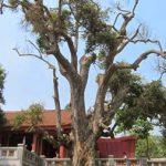 """Tiếng kêu cứu của """"cụ cây"""" già nhất Việt Nam"""